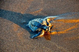 Baby sea turtle being released on the beach